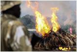 严打重压 肯尼亚政府销毁105吨象牙和1.3吨犀牛角