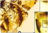 生命冻结一刻:琥珀化石凝固1.3亿年前昆虫孵化瞬间